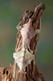 停止的母叶子螳螂 免版税库存照片