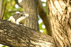 停止的灰鼠结构树 免版税库存图片