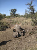 停止的犀牛 图库摄影