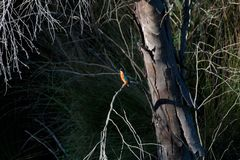 停止的玉树和翠鸟 免版税库存图片