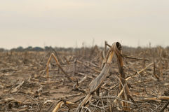 停止的玉米 免版税库存图片