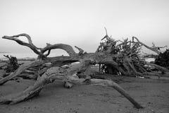 2停止的老结构树 免版税库存照片