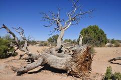 停止的老结构树 库存照片