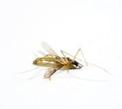 停止的蚊子 库存照片