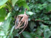 停止的蜘蛛 免版税库存照片