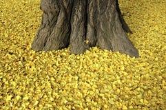 停止的银杏树叶子 库存照片