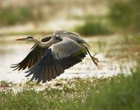 停止的飞行灰色苍鹭 库存照片