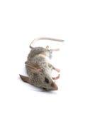 停止的鼠标 库存照片