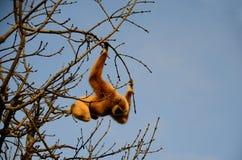 停止的猴子结构树 免版税库存图片