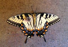 停止的蝴蝶 免版税库存照片