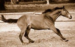停止从疾驰的马在乌贼属 库存图片