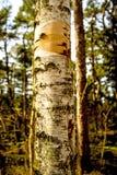 停泊桦树的吠声 库存图片