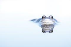 停泊青蛙和反射 免版税库存图片