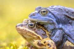停泊青蛙夫妇 库存图片
