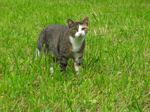 停留为在绿草的狩猎的幼小镶边猫 免版税库存照片