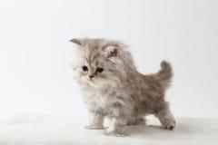 停留四条腿的苏格兰平直的长的头发小猫 免版税库存照片
