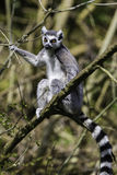 停留在分支的狐猴 免版税库存图片