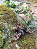 停留在地面上的更加伟大的死亡` s头hawkmoth或蜂强盗Acherontia主宰人类寿命的女神 免版税库存图片