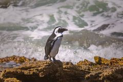 停留在岩石的非洲企鹅在贝蒂的海湾 库存图片