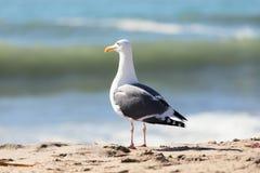 停留在海岸线海滩的海鸥半转动了回到观察者 免版税库存照片