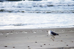 停留在海滩的海鸥 库存图片