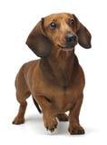 停留在白色背景的达克斯猎犬 库存图片