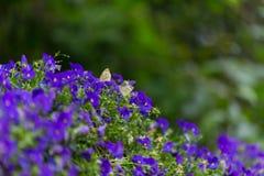 停留在蓝色花藤的蝴蝶夫妇 库存照片