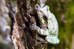 停留灰色和绿色的雨蛙  库存图片