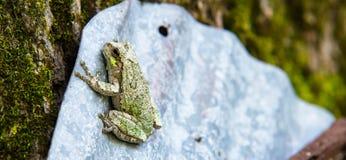 停留灰色和绿色的雨蛙  库存照片