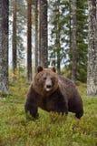 停留熊走的舌头 免版税库存图片