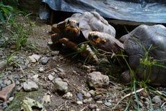 停留的乌龟夫妇  库存照片