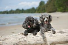 停留长卷毛狗的海滩 免版税库存图片
