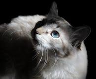 停留颊须的猫 库存图片