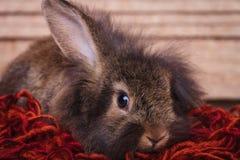 停滞一个耳朵的可爱的棕色狮子头兔子兔宝宝 图库摄影