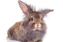 停滞他的耳朵的狮子顶头兔子兔宝宝 免版税库存照片