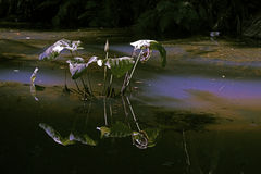 停滞水,伊蚊属Aegypt的扩散的来源 库存照片