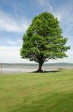 健壮的结构树 免版税库存照片