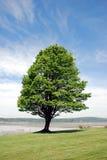 健壮的结构树 库存图片