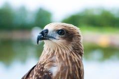 健康棕色鹰画象有被弄脏的湖背景 免版税库存照片