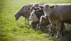 健康牛家畜,田园诗农村,英国 免版税图库摄影