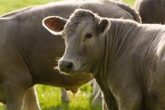 健康牛家畜,田园诗农村,英国 免版税库存照片