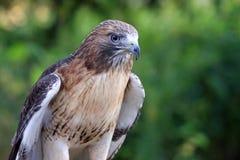 健康猎鹰 免版税库存照片
