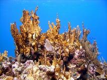 健康珊瑚的火 免版税库存图片