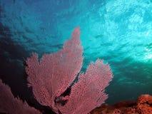 健康珊瑚的风扇 免版税库存图片