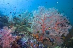 健康珊瑚礁在珊瑚三角的心脏 库存照片