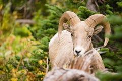 健康男性Ram大角野绵羊野生动物蒙大拿野生生物 免版税库存图片