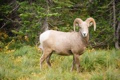 健康男性Ram大角野绵羊野生动物蒙大拿野生生物 库存图片