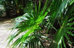 健康矮小的矮棕榈条在太阳的墨西哥扇动它的叶子 免版税库存照片
