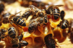 健康蜂蜜蜂 免版税图库摄影