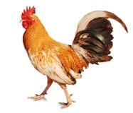 健康雄鸡 库存图片